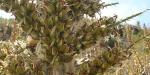 1-inflorescencia-con-frutos