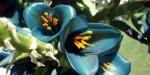 puya-alpestris-ssp-alpestris2
