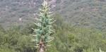 puya-alpestris-ssp-zoellneri
